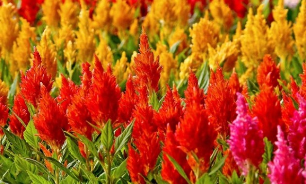 bunga celosia danurojo